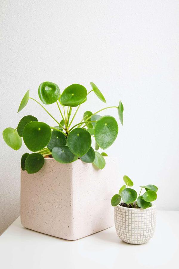 chinese-money-plants-ideas