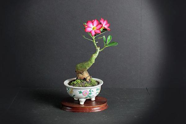 mini-desert-rose