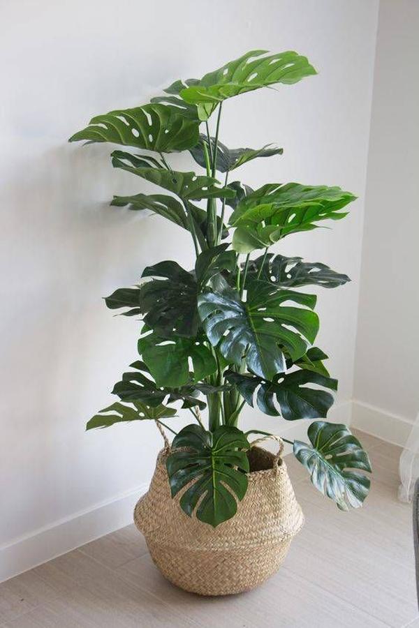 monstera-indoor-plants