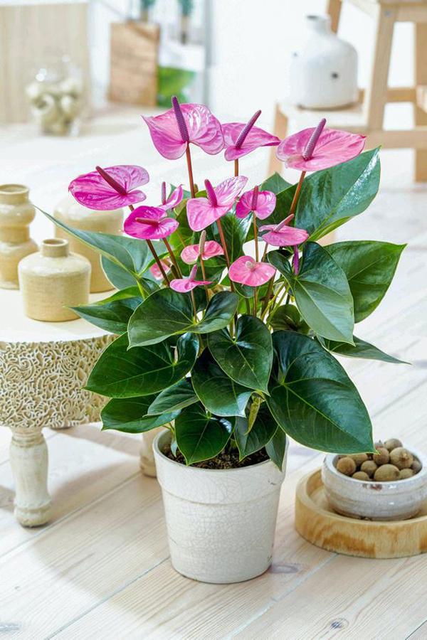 Pingky-anthurium-plants