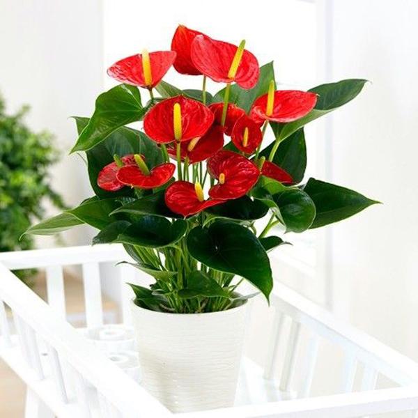 Red-spates-authurium