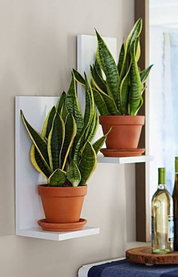 Snake-plants-as-a-walls-decoration