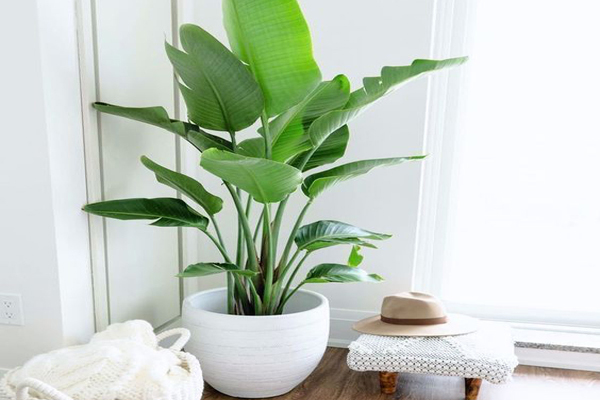 indoor-plants-of-banana-tree-for-cleaning-indoor-air