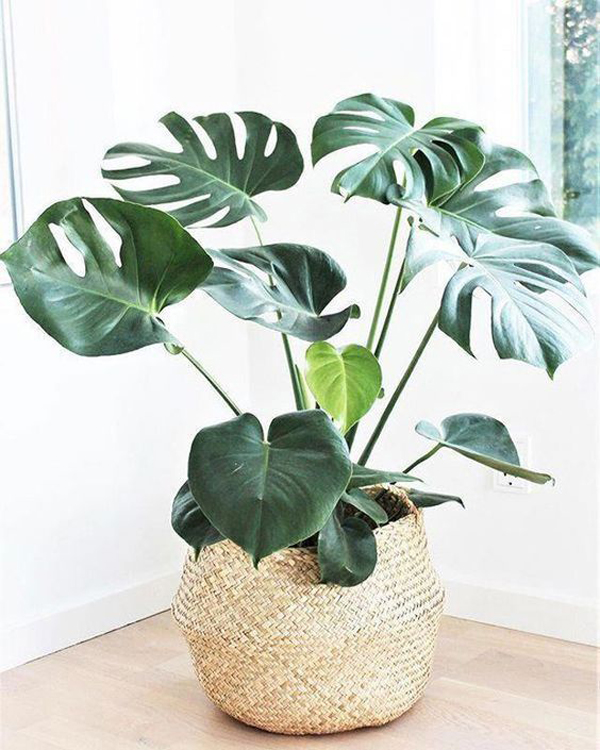 monstera-indoor-plant-ideas