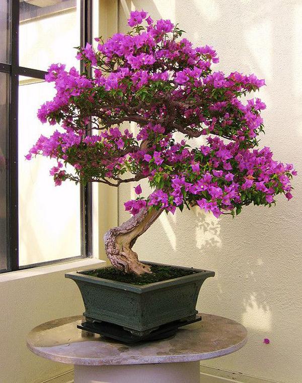 scarlet-begonias-in-bonsai-indoor-plants
