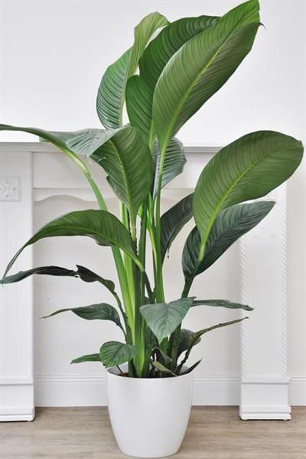Large-plant-decoration