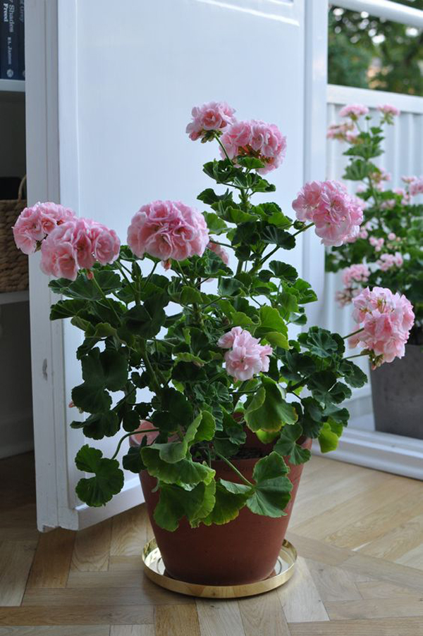 Roses-outdoor-planter